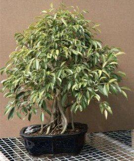 bonsai kits artificial treesplantsunderplantingbonsai trees. Black Bedroom Furniture Sets. Home Design Ideas