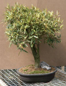Buy Willow Leaf Ficus (ficus nerifolia/salicafolia)