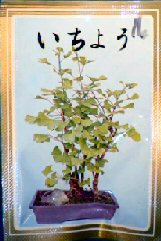 Ginko Bonsai Tree Seeds