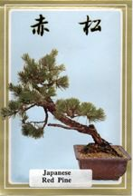 Japanese Red Pine Seeds