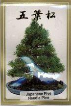 Image: Japanese Five Needle Pine Seeds