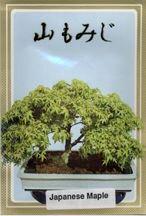 Japanese green Maple Bonsai Tree Seeds