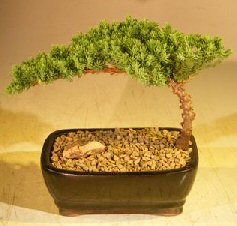 Juniper Bonsai Tree-Small<br><i>(Juniper Procumbens