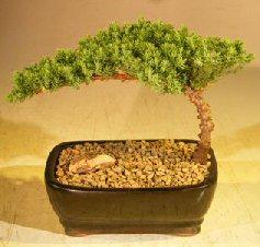 Juniper Bonsai Tree-Small<br><i>(Juniper Procumbens