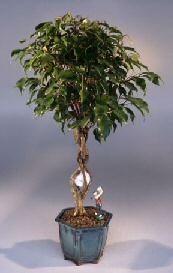 Golf Ball Ficus Bonsai Tree - Large<br>With Miniature Golfer Figurine<br><i>(Ficus Benjamina)</i>