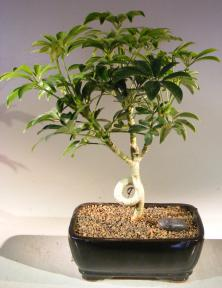 Hawaiian Umbrella Bonsai Tree - Medium <br>Coiled Trunk Style <br><i>(Arboricola Schefflera 'Luseanne')</i>