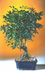 Hawaiian Umbrella Bonsai Tree - Medium<br><i>(Arboricola Schefflera 'Luseanne')</i>