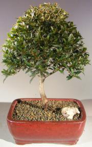 Brush Cherry-Medium<br><i>(Eugenia Myrtifolia)</i>
