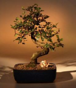 Chinese Elm Bonsai Tree - Medium <br><i></i>Curved Trunk Style <br><i>(Ulmus Parvifolia)</i>