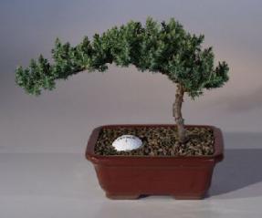 Juniper with Fairway Golf Ball<br><i>(Juniper Procumbens