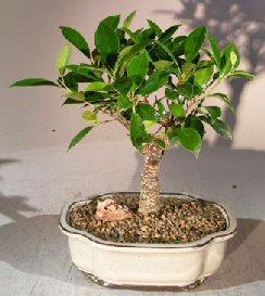 Ficus Retusa Bonsai Tree - Medium<br><i>(Ficus Retusa)</i>