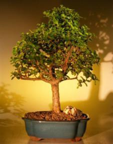Baby Jade Bonsai Tree - Extra Large <br><i>(Portulacaria Afra)</i>