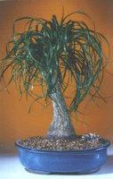Ponytail Palm- Extra Large<br><i>(Beaucamea Recurvata)</i>