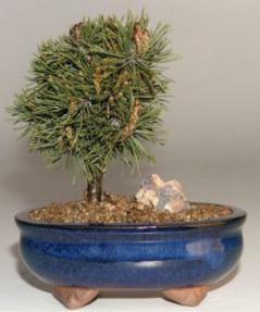 Mugo Pine-Medium<br> <i>(Pinus Mugo