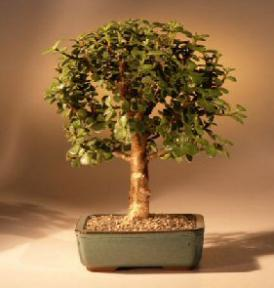Baby Jade Bonsai Tree - Medium<br><i>(Portulacaria Afra)</i>