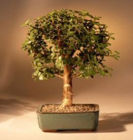 Baby Jade Bonsai Tree - Medium<br><i>(Portulacaria Afra)</i>
