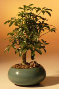 Recommended Indoor Bonsai Trees