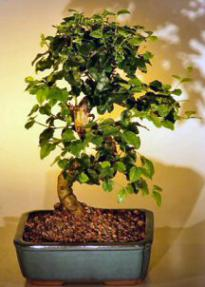 Flowering Ligustrum Bonsai Tree with Curved Trunk-Medium<br><i>(ligustrum lucidum)</i>