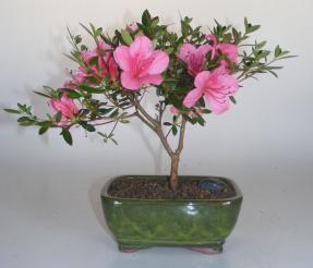 Flowering Chinzan Azalea Bonsai Tree <br><i>(azalea satsuki 'chinzan')</i>