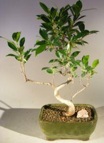 Ficus Retusa Bonsai Tree - Small<br> Curved Trunk Style