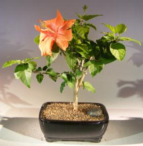 Flowering Tropical Hibiscus Bonsai Tree<br><i>(rosa sinsensis)</i>