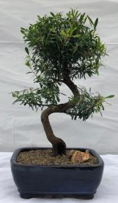 Flowering Chinese Myrtle Bonsai Tree<br>Curved Trunk Style<br><i>(myrtus communis 'compacta')