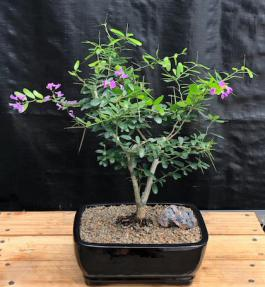 Flowering Desmodium Bonsai Tree<br><i>(Desmodium Unifoliatium)