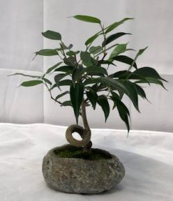 Oriental Ficus Bonsai Tree In Faux Lava Rock <br>Coiled Trunk<br><i>(ficus benjamina 'orientalis')</i>