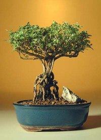 Flowering Mount Fuji Serissa Bonsai Tree<br> With Raised Roots <br><i>(serissa foetida)</i>