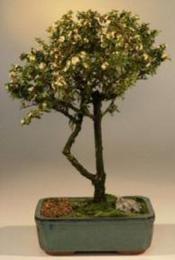 Flowering Bahama Berry Bonsai Tree<br><i>(Nashia Inaguanesis)</i>
