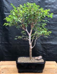 Flowering Jaboticaba Bonsai Tree - Large <br><i>(eugenia cauliflora)</i>