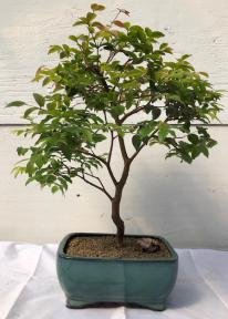 Flowering Jaboticaba Bonsai Tree - Large <br><i>(eugenia cauliflora)</i>