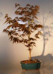 Japanese Red Maple Bonsai Tree - Large<br><i>(acer palmatum