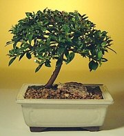 Flowering Brush Cherry Bonsai Tree -  Small<br><i>(eugenia myrtifolia)</i>