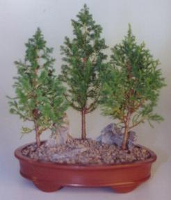 Eastern White Cedar Bonsai Tree - 3 Tree Group<br><i>(Chamecyparis Thoides Andelensis