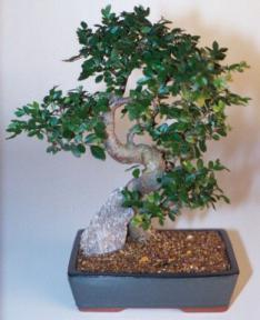 Chinese Elm Bonsai Tree - Extra Large Curved Trunk Style (Ulmus Parvifolia)