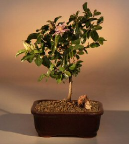 Flowering Lavender Star Flower Bonsai Tree - Medium<br><i>(Grewia Occidentalis)</i>