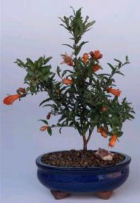 Flowering & Fruiting  Dwarf Pomegranate - Small<br><i>(Punica Granatum 'nana')</i>