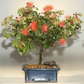 Flowering Powder Puff - Large <br><i>(Calliandra Haematocephala)</i>
