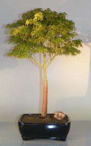 Dwarf Japanese Maple Bonsai Tree<br><i>(acer palmatum 'Capercis Dwarf')</i>