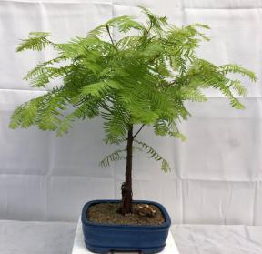 Redwood Bonsai Tree - Medium <br><i>(metasequoia glyptostroboides)</i>