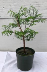 Pre Bonsai Redwood Bonsai Tree - Medium<br><i> (metasequoia glyptostroboides)</>