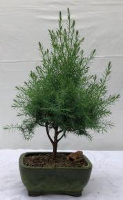 Eastern Red Cedar Bonsai Tree <br><i>(juniperus virginiana)</i>
