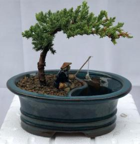 Juniper Bonsai Tree<br>Land/Water Pot - Small<br><i>(Juniper Procumbens