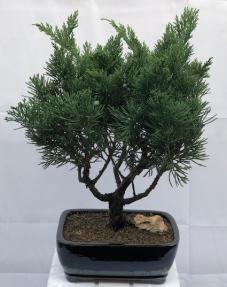 Juniper Bonsai Tree- Large <br><i></i>(Juniperus Chinensis 'parsonii')