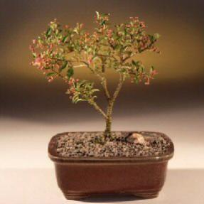Barbados Cherry Bonsai Tree (Small)<br><i>(malpighia Pendiculata)</i>