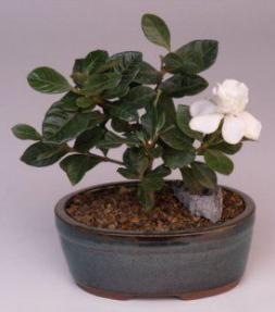 Gardenia Small Jasminoides Radicans