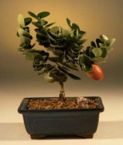 Flowering Dwarf Plum - Small<br><i>(carissa  macrocarpa)</i>