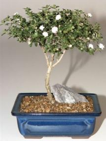 Snow Rose Serissa Bonsai Tree - Small<br><i>(serissa foetida)</i>
