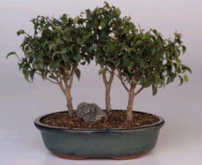 Ficus Too Little Bonsai Tree - Forest Group<br>(<i>ficus benjamina</i>